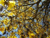 Yellow ipe Stock Photography