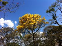 Yellow ipe tree. (trumpet tree) in Brasília with blue sky stock photos