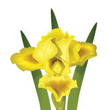 Yellow Iris Royalty Free Stock Photography