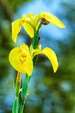 Yellow iris Stock Photography