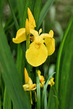 Yellow iris Royalty Free Stock Image