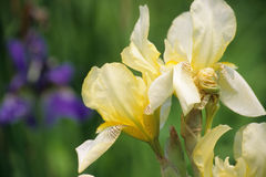 Yellow Iris Stock Images