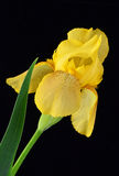Yellow Iris on Black Background Royalty Free Stock Photos