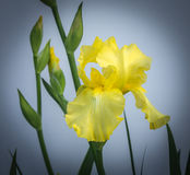 Yellow Iris and Blooms Stock Photo