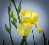Yellow Iris and Blooms Stock Photo