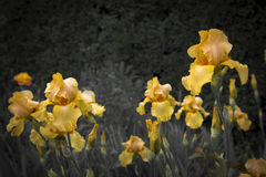 Yellow iris  bloosom. Beautiful flowers yellow iris blossom in spring Royalty Free Stock Photo
