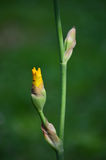 Yellow iris bud Royalty Free Stock Photos