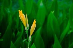 Yellow iris Stock Image
