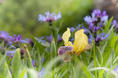 Yellow iris and cornflowers in the green meadow Stock Images