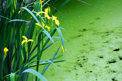 Yellow iris Stock Image