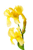 Yellow iris flower Stock Image