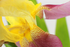 Yellow iris flower closeup on white Stock Images