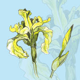 Yellow iris flower Royalty Free Stock Images