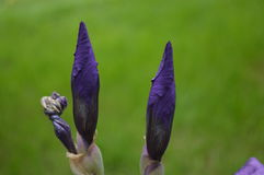 Yellow iris Royalty Free Stock Photography