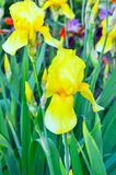 Yellow iris flower on green background Royalty Free Stock Photography