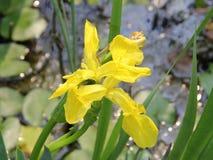 Yellow Iris flower Stock Photo