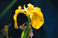 Yellow Iris flower over dark background. Yellow Iris flower over dark blurred background, macro photo with selective focus royalty free stock image