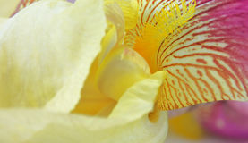 Yellow iris flower petals Royalty Free Stock Images
