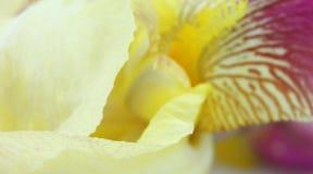 Yellow iris flower petals Royalty Free Stock Photos