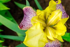 Yellow iris flower. In the sunny garden Royalty Free Stock Images