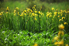 Yellow Iris Flowers. In a pond Stock Photos