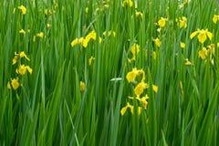 Yellow iris flowers in bloom. Field of yellow iris flowers in bloom Stock Photo