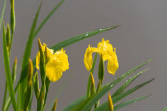 Yellow iris flowers Royalty Free Stock Photography