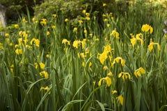 Yellow iris flowers in full bloom Stock Photos