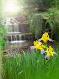 Yellow iris flowers on the water mill background. Yellow iris flowers on the water mill blurred background Royalty Free Stock Photos