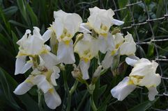 Yellow Iris Group in Bloom. A group of yellow iris in bloom Royalty Free Stock Photos