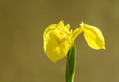 Yellow iris (Iris pseudacorus) Royalty Free Stock Photo