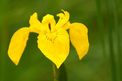 Yellow iris (Iris pseudacorus) Stock Photo