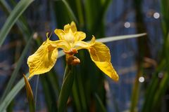 Yellow Iris - Iris pseudacorus flower in bokeh stock image