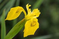 Yellow Iris Royalty Free Stock Photos