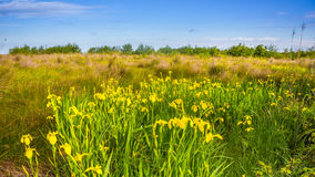 Yellow iris in nature, swamp flower. Georgia stock photography