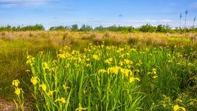Yellow iris in nature, swamp flower. Georgia royalty free stock photos