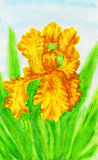 Yellow iris, painting Royalty Free Stock Images
