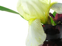 Yellow iris in red vase. With red pansy isolated on white royalty free stock photo