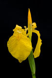 Yellow iris with some water drops after the rain Stock Images