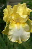 Yellow Iris Spotted With Rain Drops Stock Images