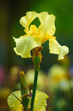 Yellow iris tectorum Stock Photo