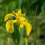 Yellow iris in water Royalty Free Stock Photography