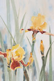 Yellow Iris Watercolour Stock Image