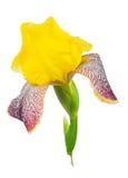 Yellow iris royalty free stock photo