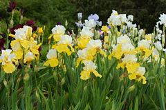 Yellow irises Stock Images