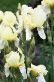 Yellow irises after a rain. Royalty Free Stock Images