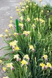 Yellow irises in summer stock photography
