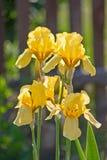 Yellow irises in the sunlight Royalty Free Stock Photos