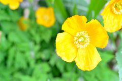 Yellow irish poppies Stock Photography