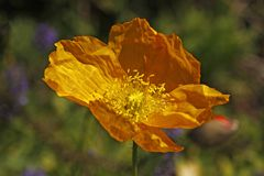 Yellow Island Poppy, Papaver nudicaule Stock Image